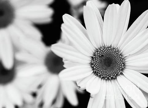 Daisy 3 by Mellissa Ray