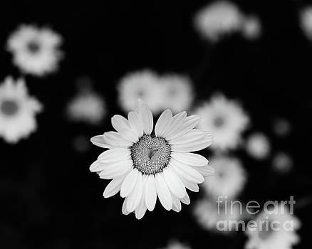 Daisy 6 by Mellissa Ray