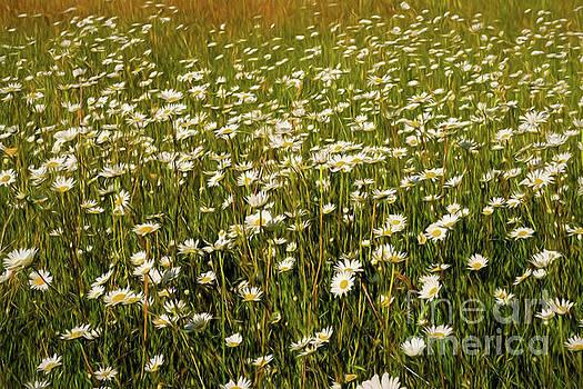 Daisy 8 by Mellissa Ray