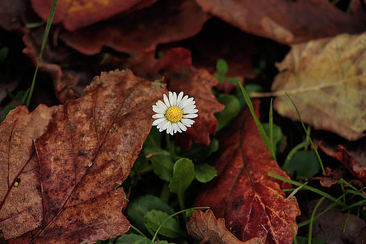 Daisy amongst autumn leaves by Frances Lewis