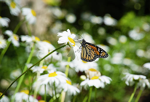 Daisy and the Butterfly by Dennis Reagan