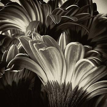 TONY GRIDER - Daisy Bouquet in Sepia