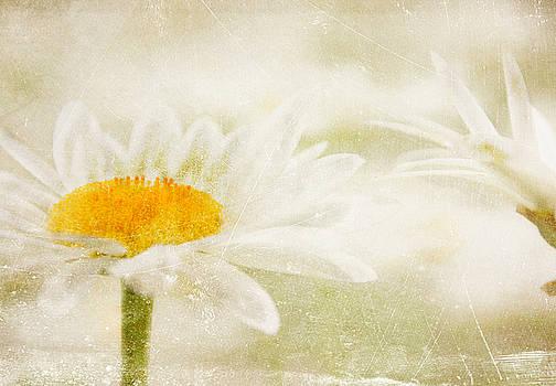 Daisy by Catherine Alfidi