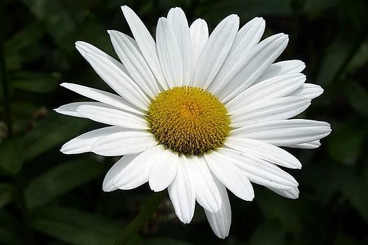 Daisy Daisy by Tim Mattox