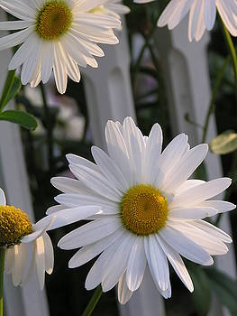 Daisy by Diane Greco-Lesser