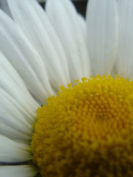 Daisy Eye by Sarah Donovan