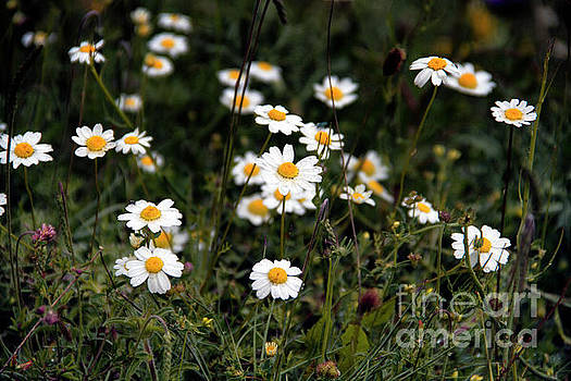 Daisy Field Bulgaria by David Daniel