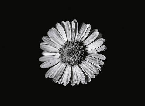 Daisy flower by Baptiste De Izarra
