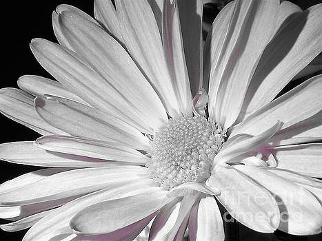 Daisy Flower by Chad and Stacey Hall
