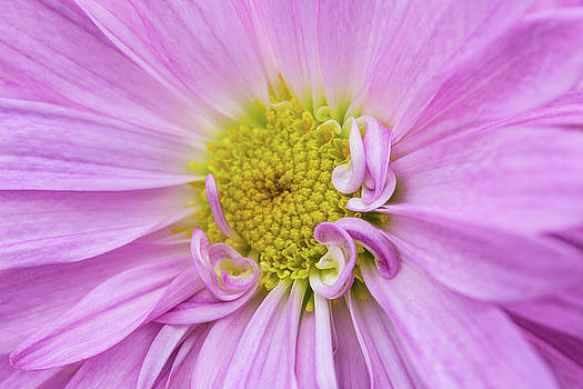 Daisy Flower Close Up by Carol Mellema