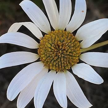 Daisy flower  by Sheila Renfro