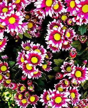 Daisy Garden Blossom by Ian Gledhill