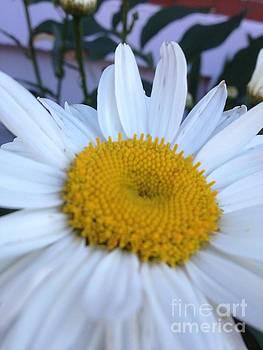 Daisy by Iris Newman