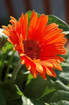 Daisy by Kathy Schumann