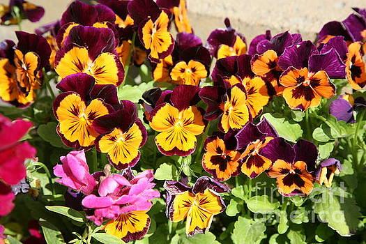 Chuck Kuhn - Daisy Lazy Flowers