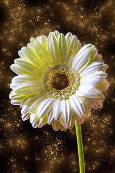 Daisy Magic by Garry Gay
