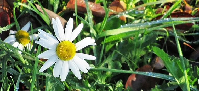 Daisy by Martin Cline