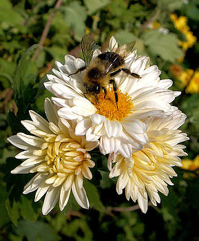 Daisy Mums and Bee by Steve Rudolph