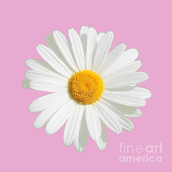 Daisy On A Pink Background by Susan Wall