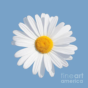 Daisy On Blue Background by Susan Wall