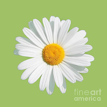 Daisy On Green Background by Susan Wall