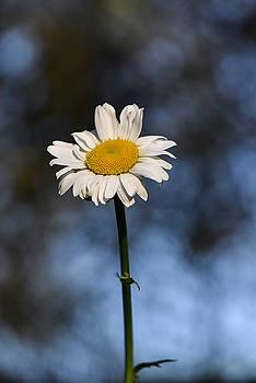 Daisy by Patricia Gapske