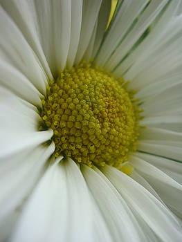 Daisy by Patricia M Shanahan