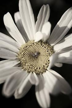 Daisy by Sarah Boyd