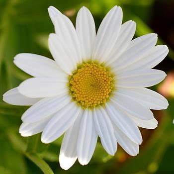 Daisy  by Sheila Price