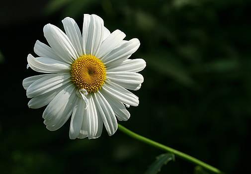 Daisy  by Steve Augustin