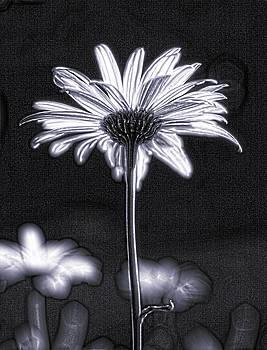 Daisy by Tony Cordoza