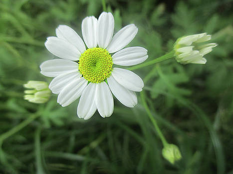 Daisy Feverfew by Valerie Anne Kelly
