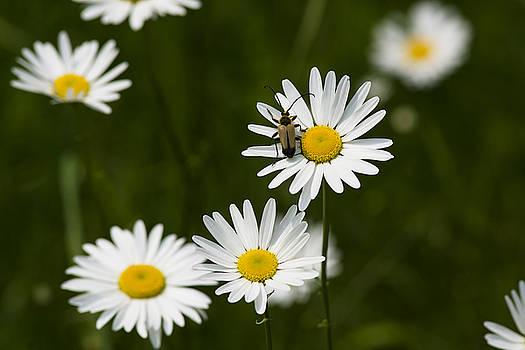 Daisy visitor by Dan Hefle
