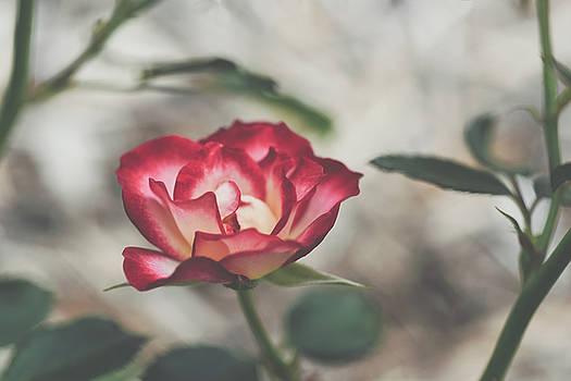 Dakota Rose by Betsy Armour