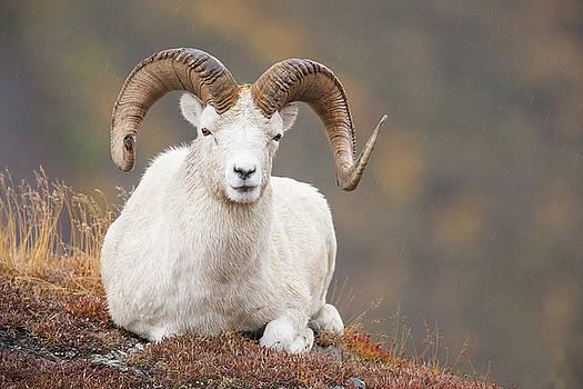 Tim Grams - Dall Sheep Ram