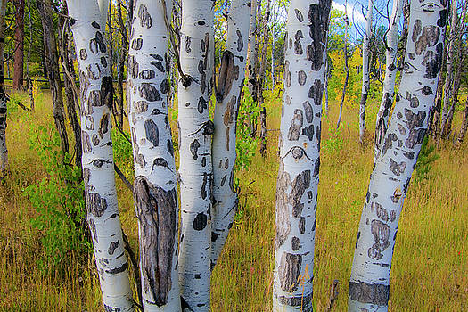 Dalmatian Aspens by Gary Lengyel