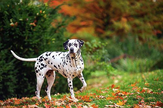 Jenny Rainbow - Dalmatian Dog in Autumn Woods