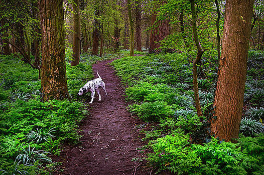 Jenny Rainbow - Dalmatian In the Spring Woods