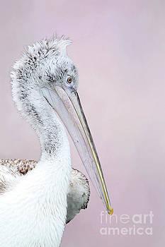 Dalmatian Pelican V2 by Judy Whitton