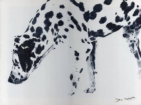 Dalmation by John Neeve