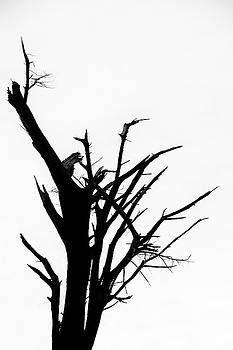 Damaged Tree Silhouette by Russ Dixon