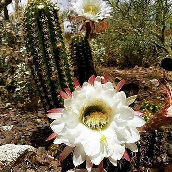Dammit I Love Cactus Flowers!  #cactus by Sarah Marie
