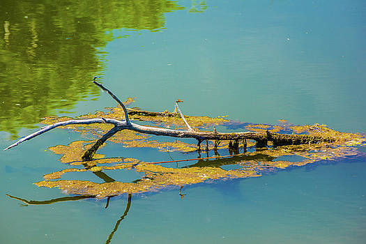 Damselfly On A Lake by Tom Potter