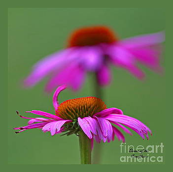 Dance Of The Coneflower by Marcel  J Goetz  Sr
