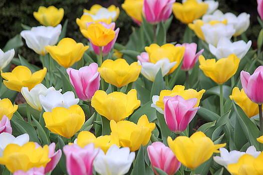 Rosanne Jordan - Dance of Tulips