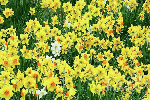 Regina Geoghan - Dancing Daffodils