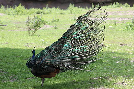 Dancing  Peacock by Michelle Miron-Rebbe