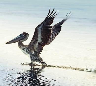 Dancing Pelican by Debra Forand