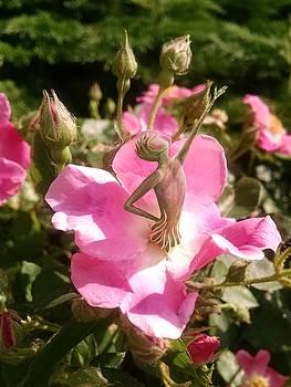 Dancing Rose Fairy by Karen Renee