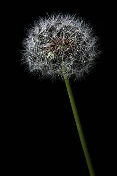 Dandelion 1 by James Sage